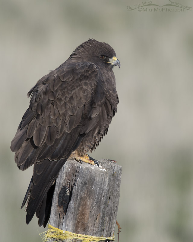 Perched dark morph Swainson's Hawk