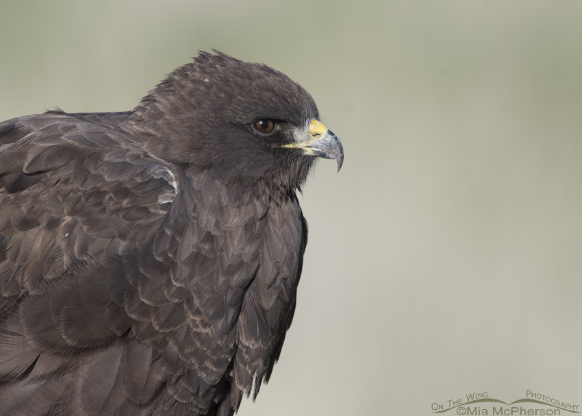 Swainson's Hawk dark morph close up