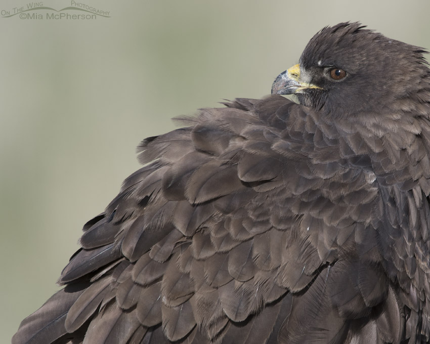 Dark morph Swainson's Hawk looking over its shoulder