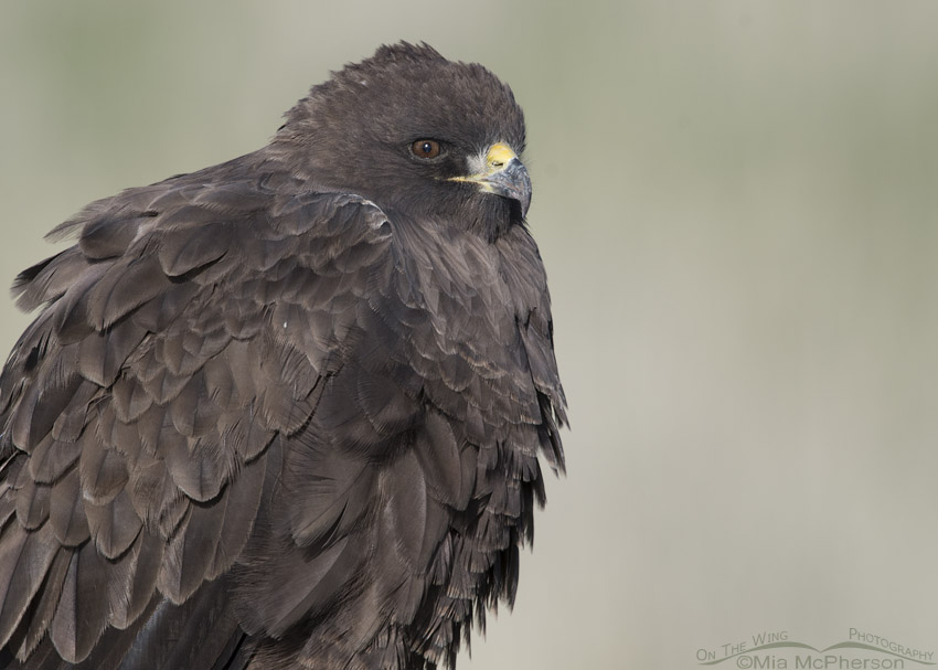 Portrait of a dark morph Swainson's Hawk