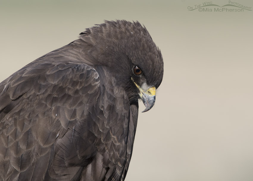 Swainson's Hawk dark morph looking down