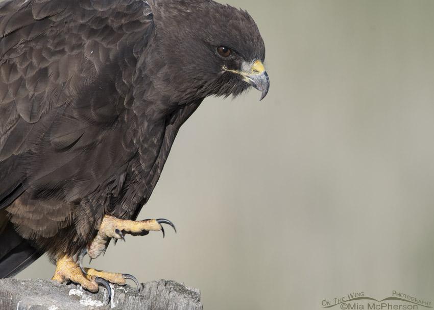 Dark morph Swainson's Hawk talons