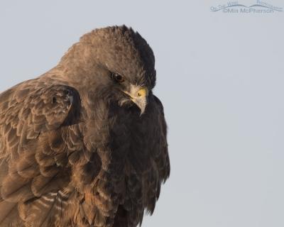 Close up of dark morph Swainson's Hawk in golden light