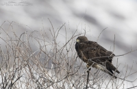 First of Year Swainson's Hawk with snowy mountains in the background