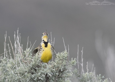 Female Western Meadowlark rattling