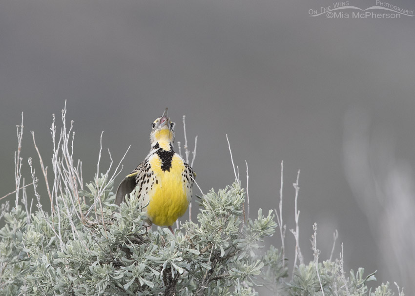 Female Western Meadowlark rattling