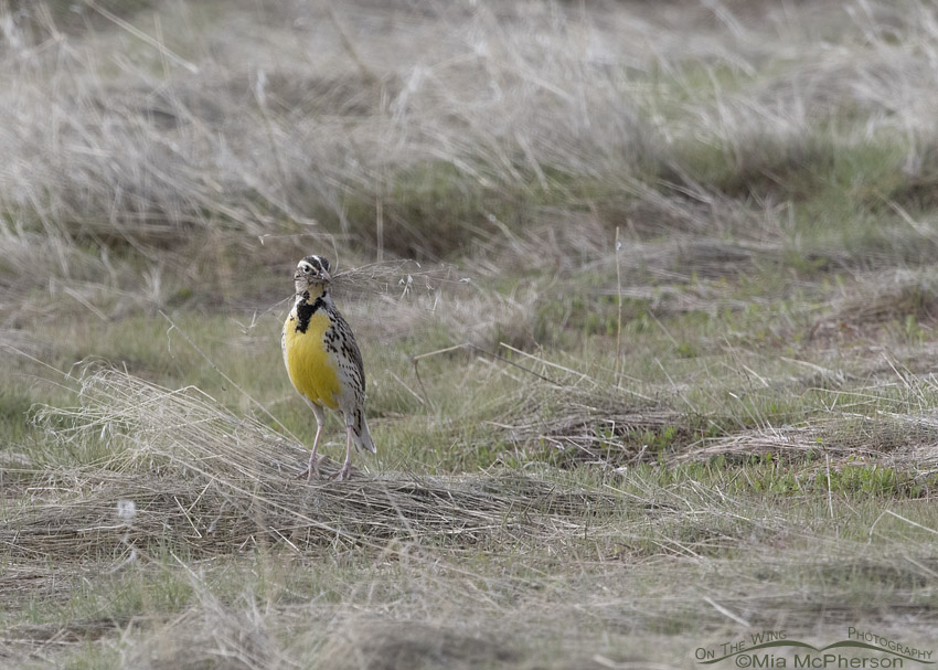 Female Western Meadowlark with nesting materials