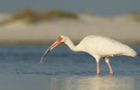 White Ibis with a crab in its bill