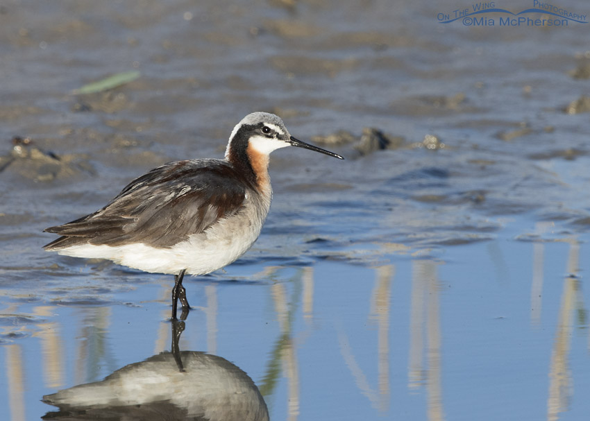Wilson's Phalarope in the marshes at Bear River
