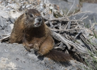 Yellow-bellied Marmot sticking out its tongue