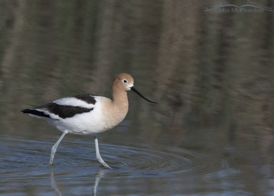 American Avocet with reflections of rushes in the background