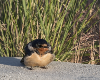 Curbside Barn Swallow