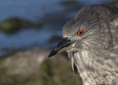 Close up juvenile Black-crowned Night Heron