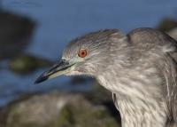 Agitated juvenile Black-crowned Night Heron