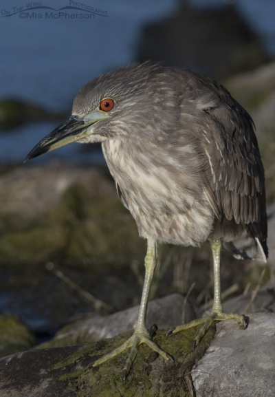 Black-crowned Night Heron juvenile on a rock