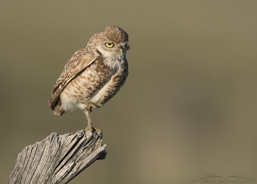 Western Burrowing Owl standing on one foot