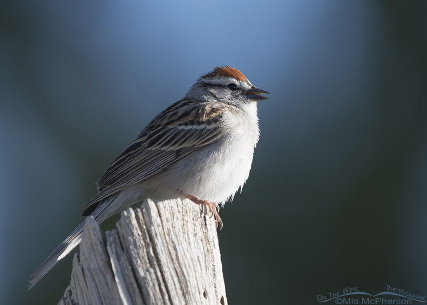 Chipping Sparrow singing in the West Desert