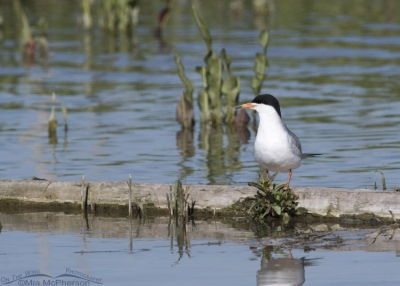 Forster's Tern in breeding plumage resting on a log