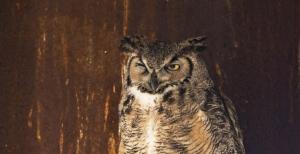 Winking Great Horned Owl