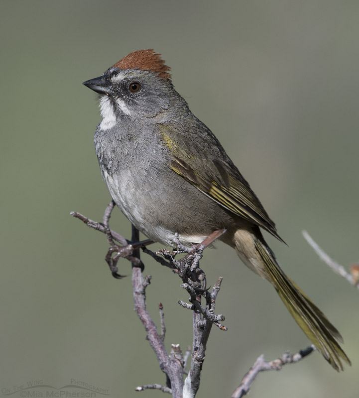 Green-tailed Towhee close up
