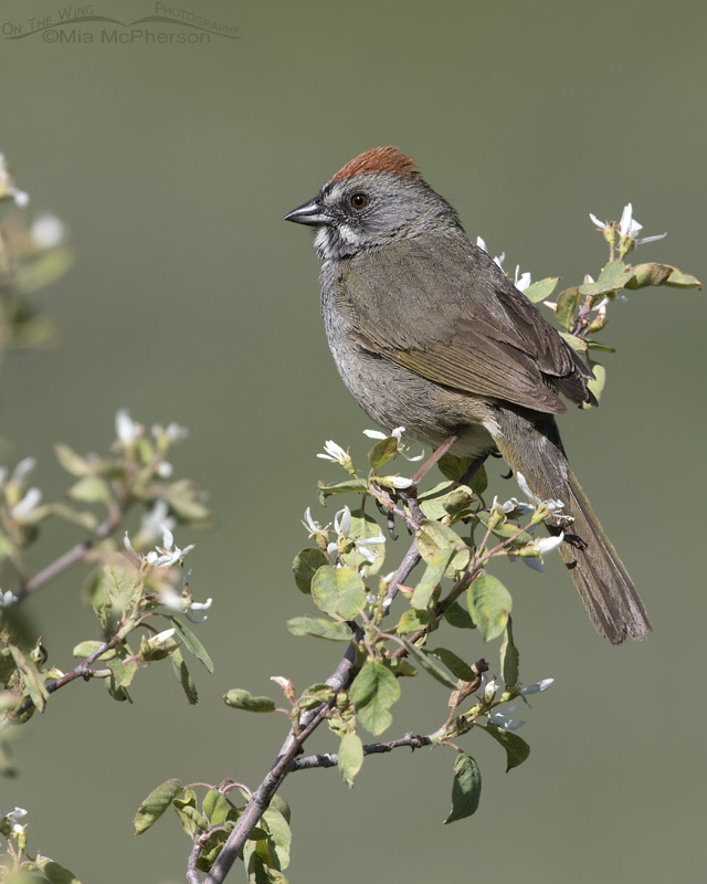 Green-tailed Towhee male on a flowering shrub