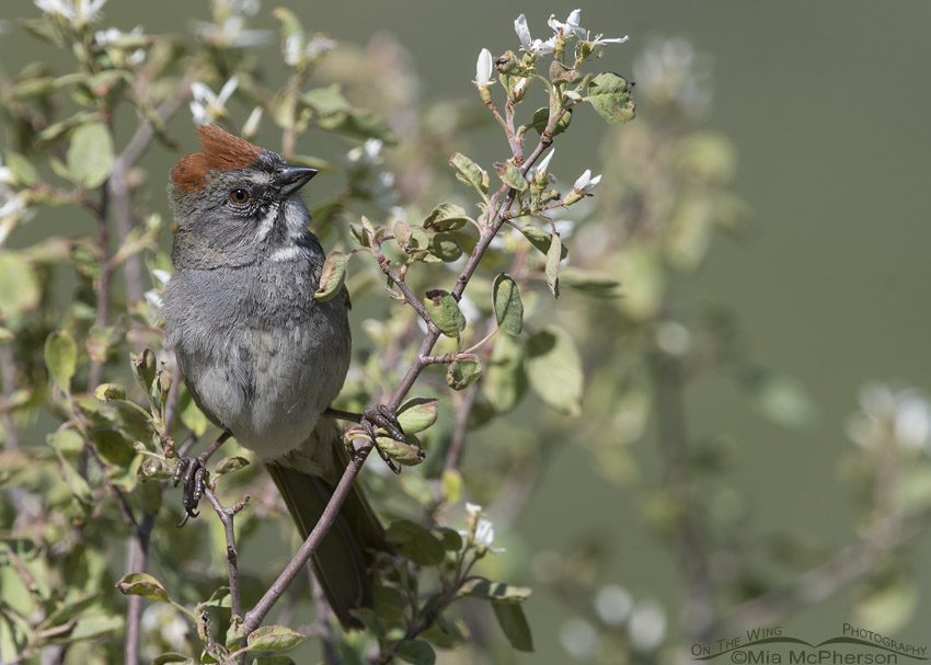 Green-tailed Towhee with flowers