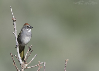 Green-tailed Towhee in Morgan County