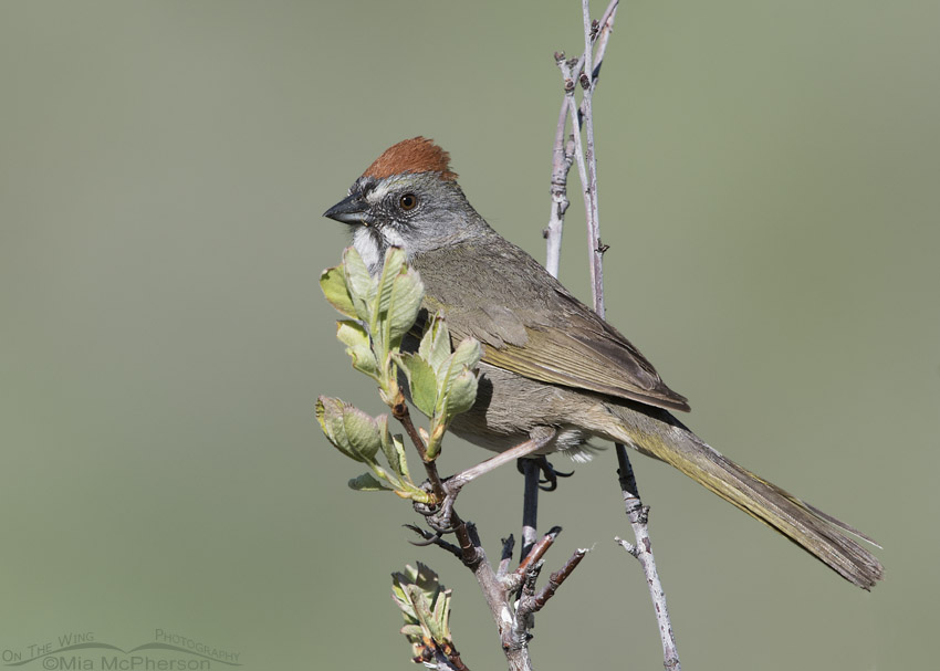 Green-tailed Towhee on a leafy branch