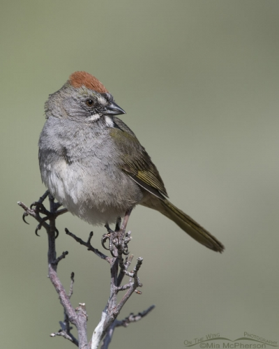 Green-tailed Towhee in a canyon