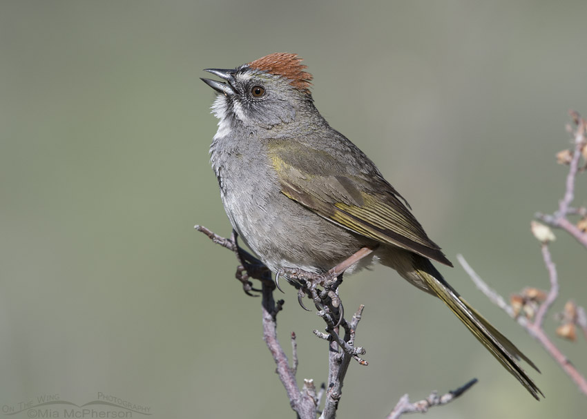 Singing male Green-tailed Towhee in the Wasatch Mountains