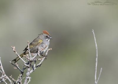 Morgan County male Green-tailed Towhee