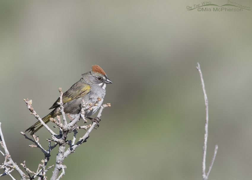 Morgan County male Green-tailed Towhee