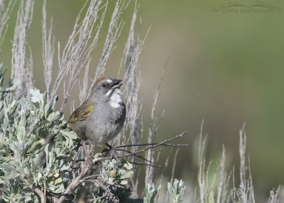 Green-tailed Towhee singing on sagebrush