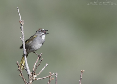 Male Green-tailed Towhee singing his heart out