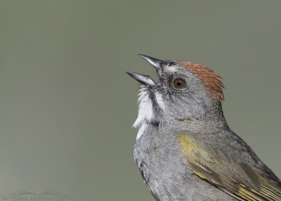 Singing Green-tailed Towhee portrait
