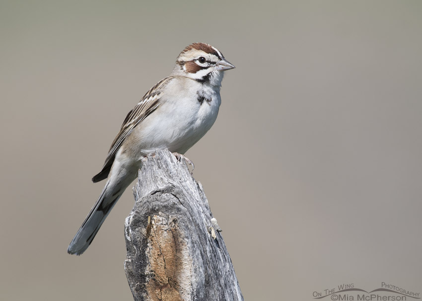 Lark Sparrow perched on a old fence post in northern Utah