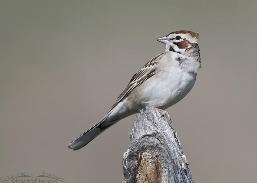 Lark Sparrow in a light breeze