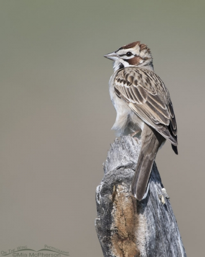 Perched adult Lark Sparrow in Box Elder County