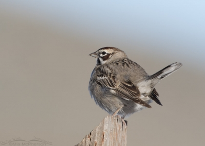Perky Lark Sparrow on a post