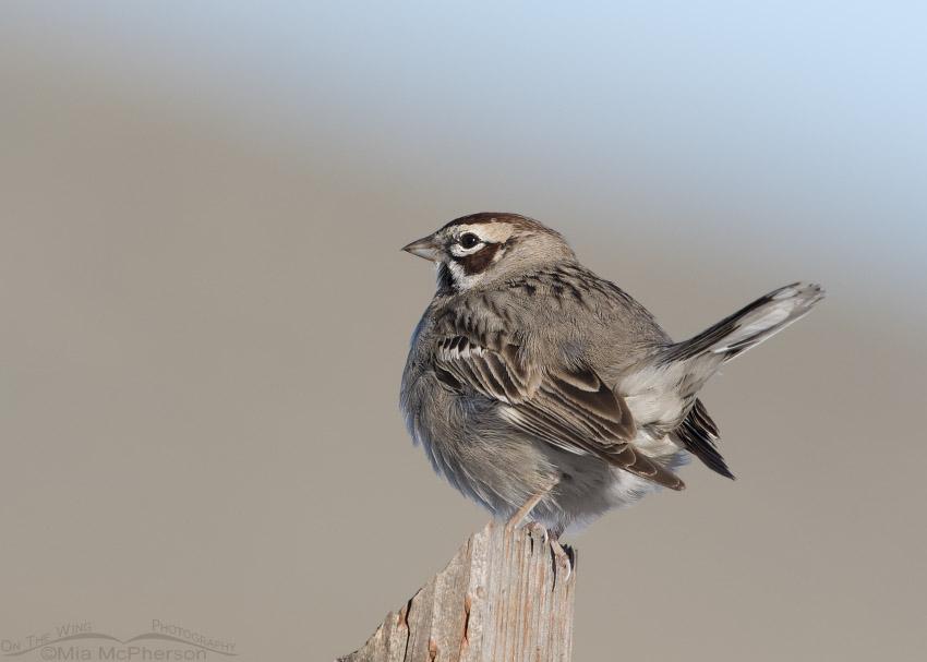 Perky Lark Sparrow on a post