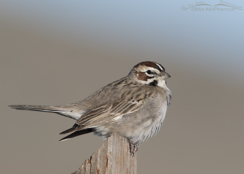 Lark Sparrow resting on a post
