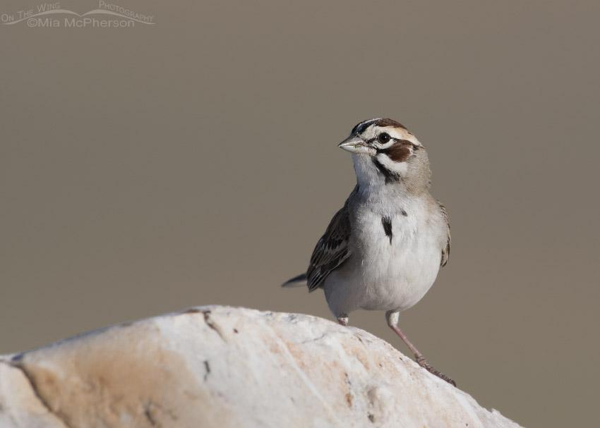 Lark Sparrow on a Tintic Quartzite boulder