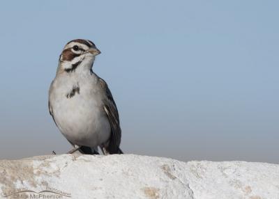 Lark Sparrow against a blue sky