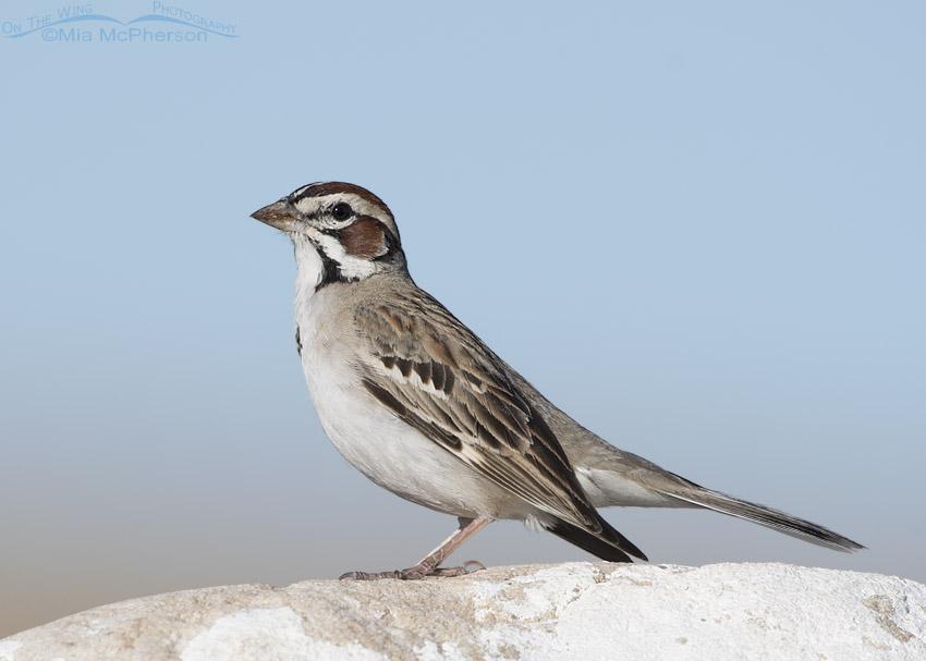 Lark Sparrow on a bright boulder