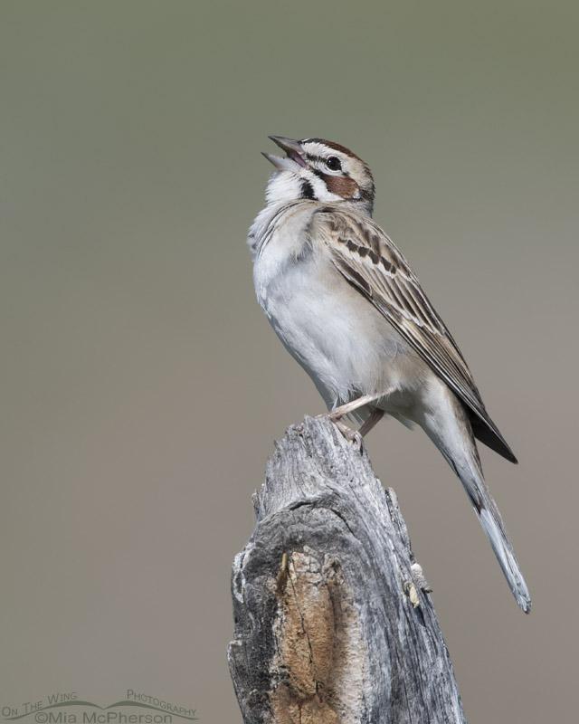 Lark Sparrow singing in Box Elder County