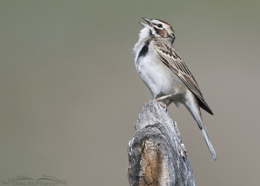 Singing Lark Sparrow in northern Utah