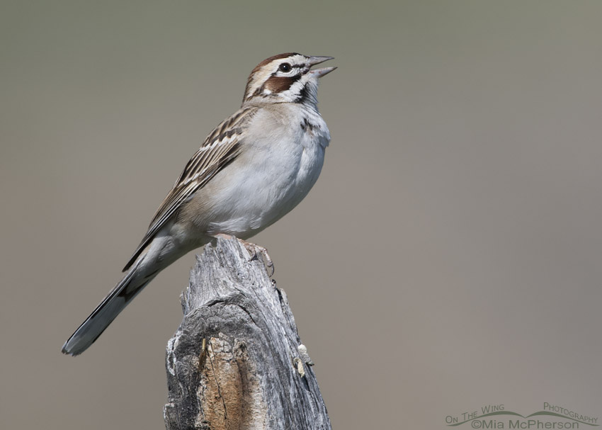 Adult Lark Sparrow singing on a wooden fence post