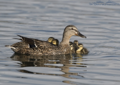 Mallard hen with her ducklings
