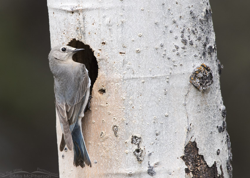 Female Mountain Bluebird clinging to the nesting tree