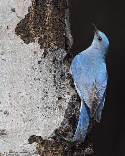 Male Mountain Bluebird clinging to the nesting tree